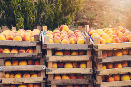 Peach trees with boxes of freshly harvested ripe peaches in fruit garden Stockfoto
