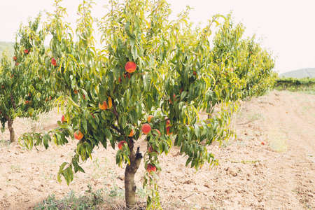 Plum peach tree with fruits growing in the garden Stockfoto