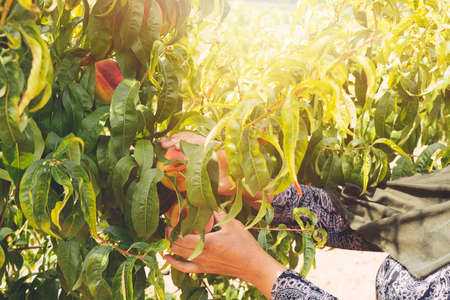 farmer harvesting peaches from tree in garden. Agriculture concept