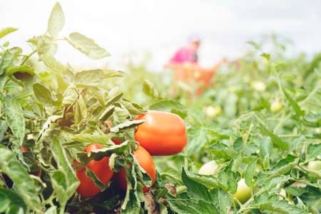 Cultivation tomato on a farmer kitchen garden during the summer period