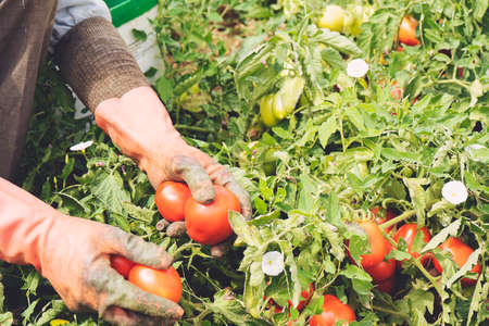 Close up of Hand Picking Tomatoes From the Field, Organic Farming. Soft Focus