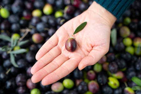 girl hand with olive, picking from plants during harvesting, green, black, beating to obtain extra virgin oil. Reklamní fotografie