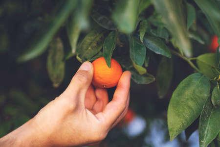 Mandarin tree branches with ripe fruits. Mandarin orange tree. Tangerine. Hand holding mandarin. Picking fruits