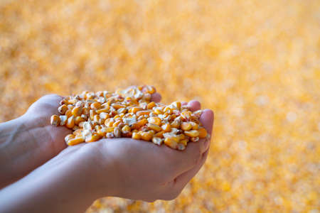 Woman hands with grain, on yellow corn background