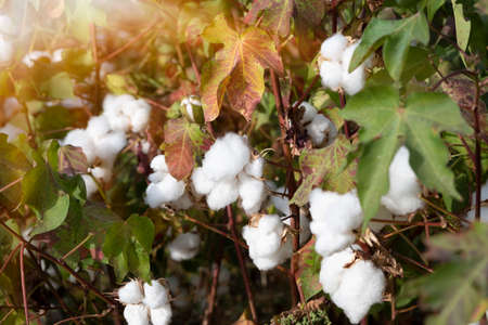 Organic cotton plants field with white open buds ready to harvest in India
