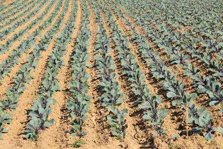 Fresh organic food concept - young purple cabbage in the vegetable field.
