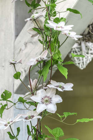 Clematis with white flowers clings to white wooden beams. Vertical stock photo.