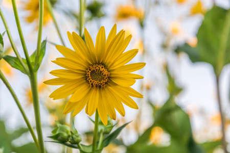 Yellow blossom of cup-plant (Silphium perfoliatum), close-up