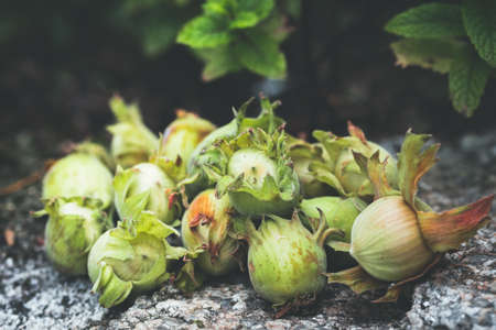 Freshly picked hazelnuts with their green leaves on a stone wall 免版税图像