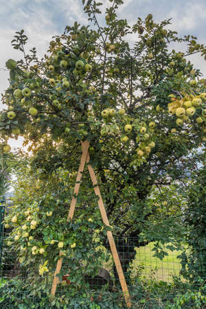 Old quince tree that has to be propped up because of the weight of its fruits