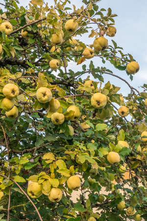 Two ripe quinces on an old quince tree, closeup