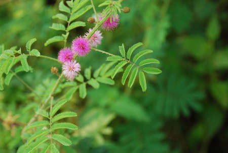 inward: The Sensitive plant - the compound leaves fold inward and droop when touched, re-opening within minutes.