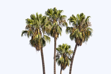 blanco: palmeras