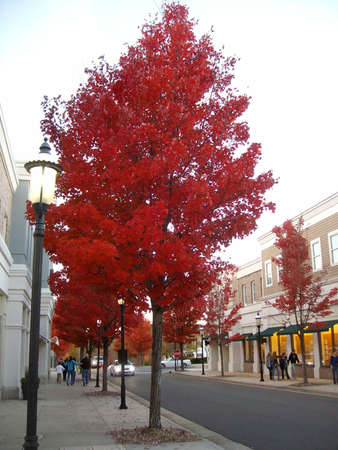 Red Trees beautiful leaves looks like it s on fire