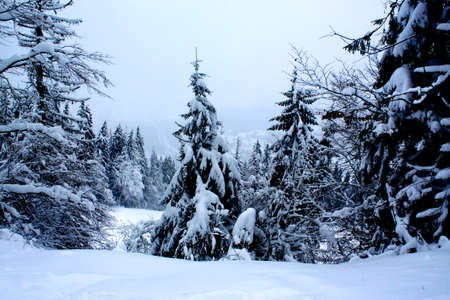 snow-covered trees photo