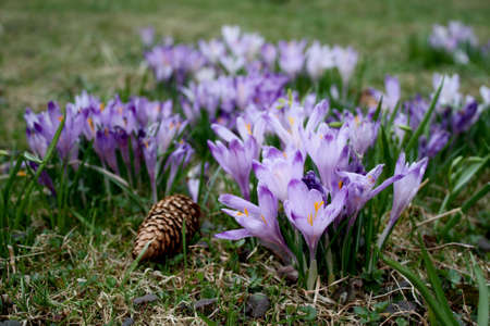 crocuses blooming in the forest glade photo