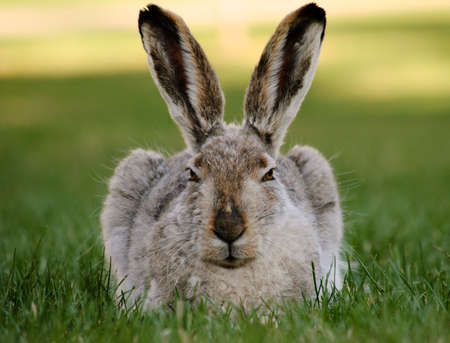 A hare stares and relaxes on a summer evening Stock Photo