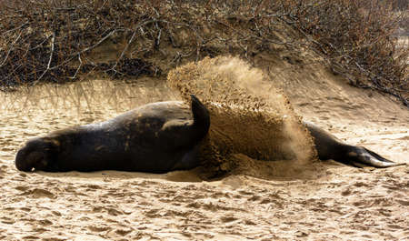 ano: A male elephant seal cooling itself by spraying sand at the Ano Nuevo State Preserve, California