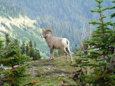 glacier national park: Big Horn Sheep
