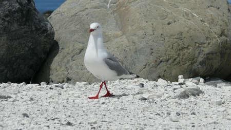 Mackerel Gull