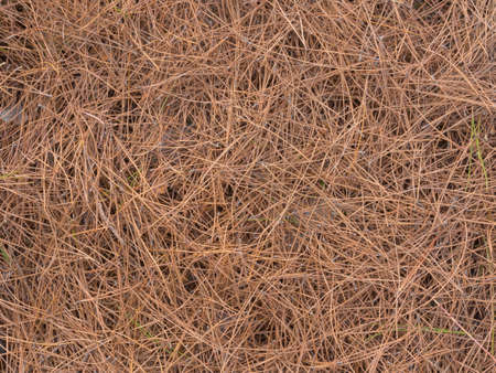 pine needles: Simple autumn background of fallen pine needles