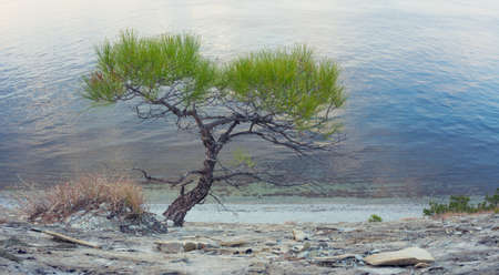 lone pine: Lone Pine on shore of sea in autumn