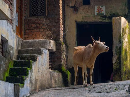 india cow: Indian holy cow on the street in Rishikesh India Stock Photo