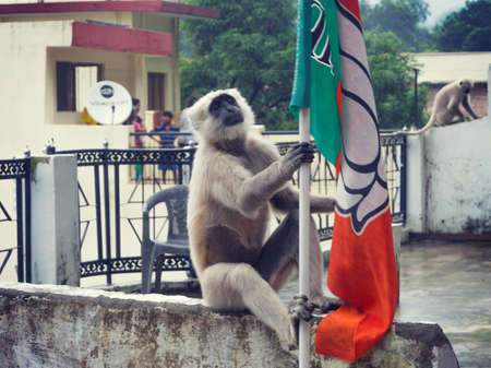 gray langur: The black Monkey on a background of mountains in Rishikesh
