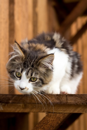 Young Maine Coon sitting on wooden board