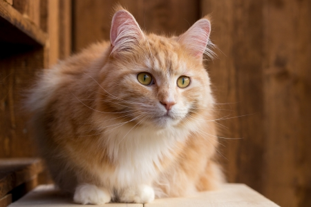 Red Maine Coon cat  Фото со стока