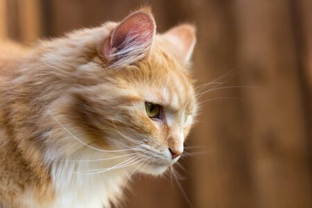 Red Maine Coon cat in profile