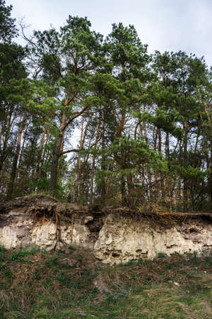 Pine trees on a sandy cliff with exposed roots. Visual aid on the structure of the root system of the tree.