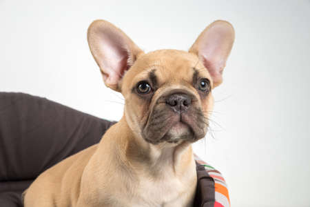 Portrait of a french bulldog puppy on a white background.