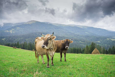 Cows graze in high-mountain meadows with lush green grass. Banque d'images