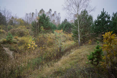 Autumn landscape with birches and small pines.
