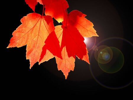 Red leaves at back light on dark background. Stock Photo