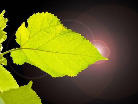 Green leaf at black light on black background Stock Photo