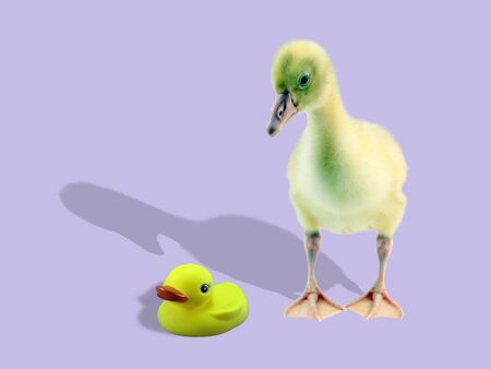 Cute duck looking at plastic duck on light background.