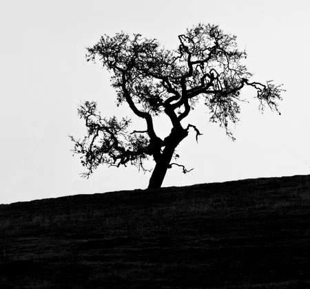 protected tree: Silhouette of gnarly bare Oak tree on an upward hill Stock Photo
