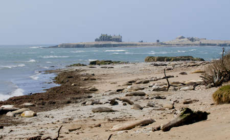 breeding ground: elephant seal breeding ground ano nuevo state beach