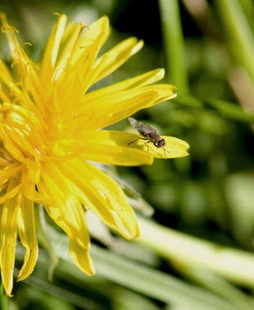abatement: fly on dandelion