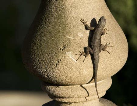 lizard in the sun 版權商用圖片