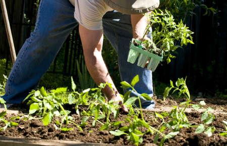 成熟した男の有機野菜を植えること
