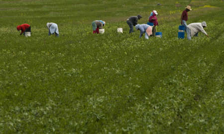 migrant: migrant farm workers in agricultural field picking