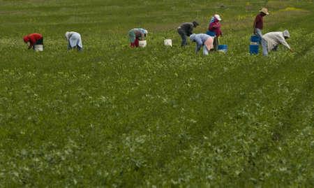 gewerkschaft: Migranten landwirtschaftliche Arbeitnehmer in landwirtschaftlichen Bereich Kommissionierung