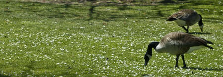 Canadian geese eating in a field of flowers