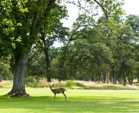 white tail deer: white tail deer in a green wooded field looking at camera Stock Photo
