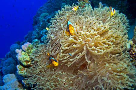 Mar Rosso Anemonefish / Ho sparato questo bellissimo anemone con anemonefishes a Panorama Reef, Questo incredibile pesce gioca e sembra molto felice, 25 metri di profondità. Archivio Fotografico - 74699274