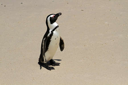 African penguin, Cape town, South Africa