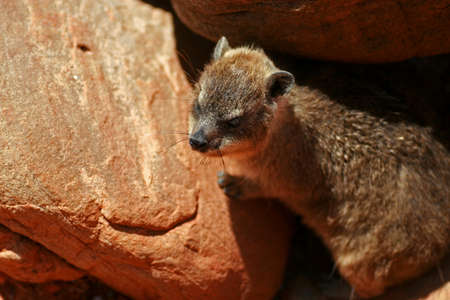 Rock badger, Cape Town, South Africa